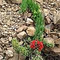 Bomarea ovallei, syn. Leontochir ovallei plant with shrubby Oxalis, Eugene Zielinski