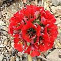 Leontochir ovallei flower head, Eugene Zielinski