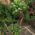 Leontochir ovallei flower buds, Eugene Zielinski