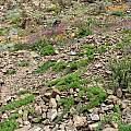 Bomarea ovallei, syn. Leontochir ovallei colony of plants, Eugene Zielinski