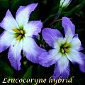 Leucocoryne hybrid, Bill Dijk