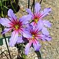 Leucocoryne hybrid, Mary Sue Ittner