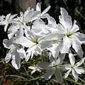 Leucocoryne ixioides white, Sheila Burrow