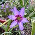 Leucocoryne hybrid, Lee Poulsen