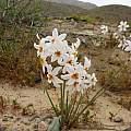 Leucocoryne narcissoides flowers, Eugene Zielinski