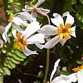 Leucocoryne narcissoides, Osmani Baullosa