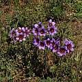 Leucocoryne purpurea colony, Eugene Zielinski