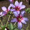 Leucocoryne purpurea, Sheila Burrow