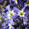 Leucocoryne coquimbensis, Sheila Burrow