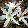Leucocoryne species white, Sheila Burrow