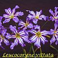 Leucocoryne vittata darker form by Bill Dijk