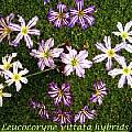 Leucocoryne vittata hybrids, Bill Dijk