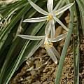 Leucocrinum montanum, Grant Co. Izee-Paulina Ln. Oregon, Mark Turner