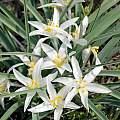 Leucocrinum montanum, Deschutes Co. Innes Mkt Rd. Oregon, Mark Turner