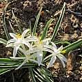 Leucocrinum montanum, Mary Winter