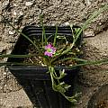 Lewisia pygmaea, Mary Sue Ittner