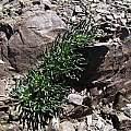 Lewisia rediviva, Mt. Diablo, Nhu Nguyen