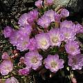 Lewisia rediviva, Tilden Botanical Garden, Monterey Co. form, Nhu Nguyen