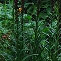 Liatris spicata, David Pilling