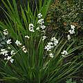 Libertia grandiflora, Mary Sue Ittner