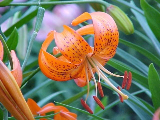 Pacific Bulb Society Lilium Asiatic Section D K
