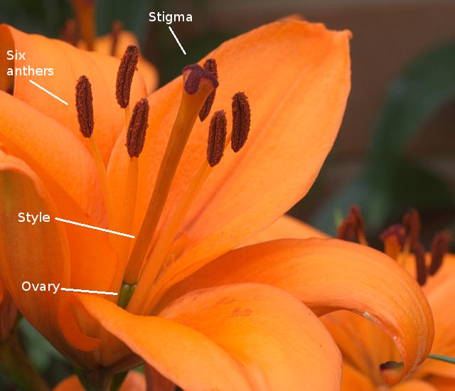 relationship between anther and filament of a plant