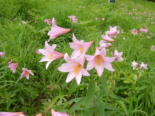 Pacific Bulb Society Lilium Oriental Section