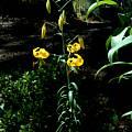 Lilium amabile var. luteum, John Longanecker
