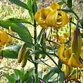 Lilium amabile v. luteum, Darm Crook