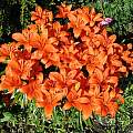Clump of Asiatic lilies, David Pilling