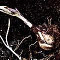 Lilium auratum var rubrovittatum bulb, Pontus Wallstén