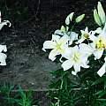 Lilium auratum var. virginale, Darm Crook