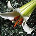 Lilium brownii var. viridulum, Arnold Trachtenberg
