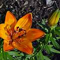 Lilium bulbiferum v. chaixii, Darm Crook