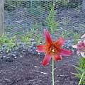 Lilium canadense, Darm Crook