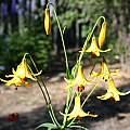 Lilium canadense v. flavum, Darm Crook