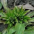 Lilium candidum, new leaves, Janos Agoston