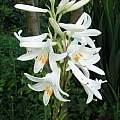Lilium candidum, Janos Agoston