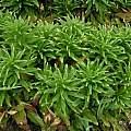 Lilium candidum leaves, Janos Agoston