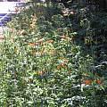 Lilium columbianum, Bob Rutemoeller