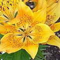Lilium dauricum yellow form, Darm Crook