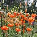 Lilium davidii var. willmottiae, Darm Crook