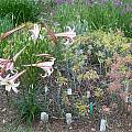 Lilium formosanum var. pricei, Mark McDonough