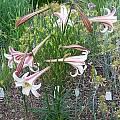 Lilium formosanum var. pricei, Mark McDonough