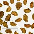 Lilium formosanum seed, David Pilling