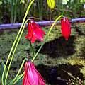 Lilium grayi, Wayne Crist