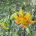 Lilium hansonii, Darm Crook