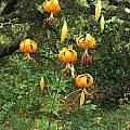 Lilium humboldtii, UC Botanical Garden, Nhu Nguyen