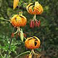 Lilium humboldtii, Nhu Nguyen