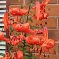 Lilium lancifolium, David Pilling